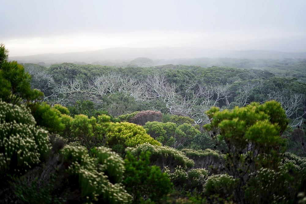 mist over the fynbos & forest