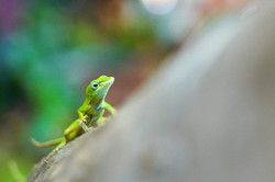gree-lizard-on-tree