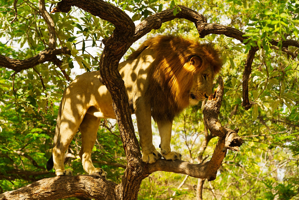 lion in a tree