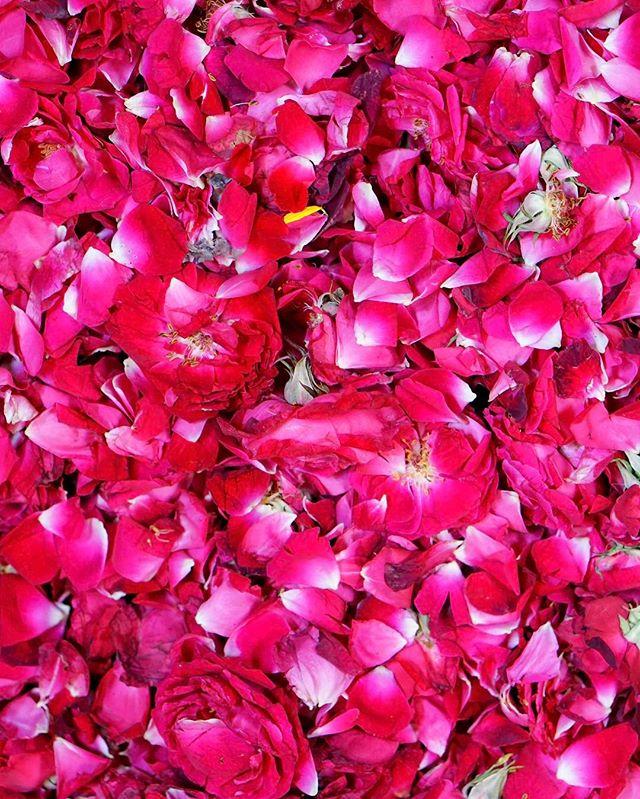 sea of #roses _ #agra #india -_-_#travel #traveling #travelgram #instatravel #wanderlust #backpacking #guardiantravelsnaps #photography #son
