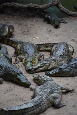 crocodile-gambia