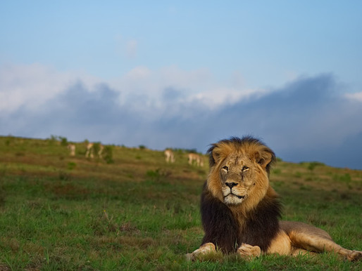touring | south africa - peering into the souls of lions
