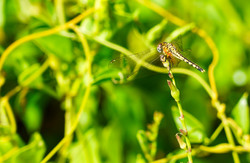 dragonfly_mozambique