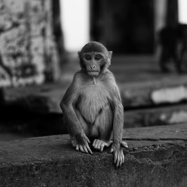 captured this #beautifully #candid shot of a #monkey on the #hills above #jaipur #india -_-_#travel #traveling #travelgram #instatravel #wan