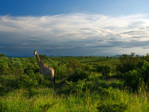 safari | kruger | south africa - in search of the big 5