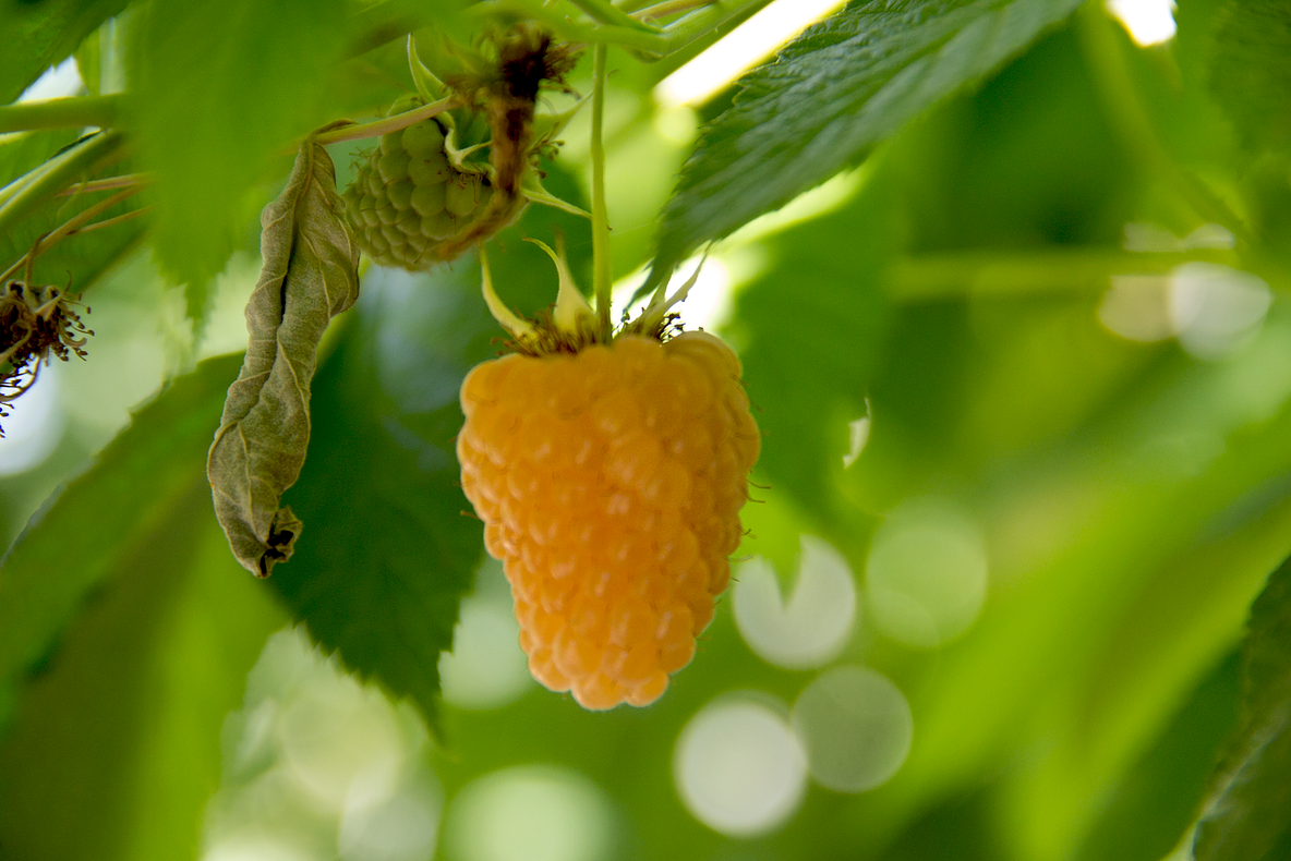 Cascadian Gold raspberries are one of the flavorful varieties grown by Arado Farm at Viva Farms, along with other varieties of primocanes and floricanes such as Caroline and Tulameen.