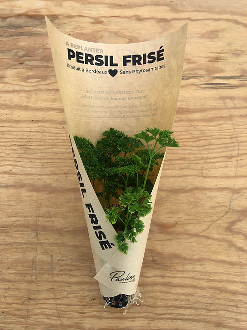 Persil frisé à replanter