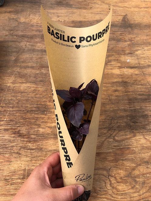 Basilic pourpre à replanter