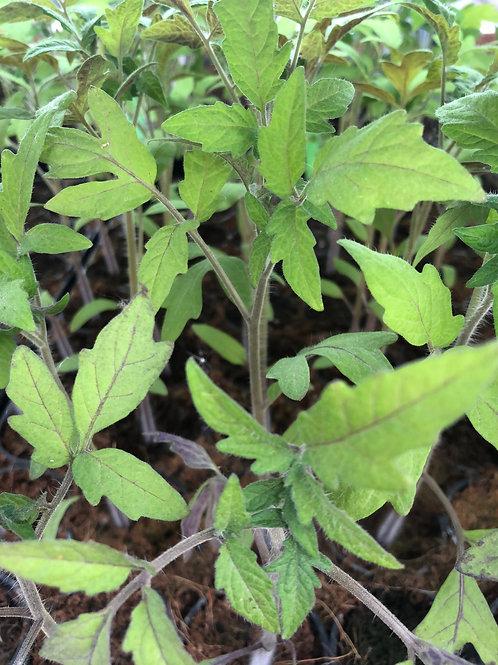 Plant de tomates Green Zebra - Unité