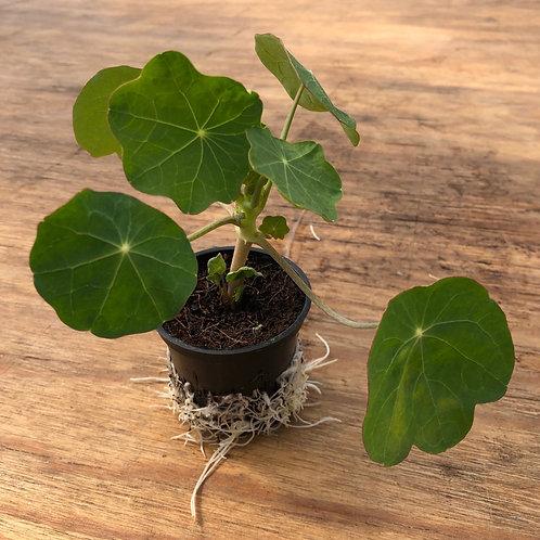 Plant de Capucine