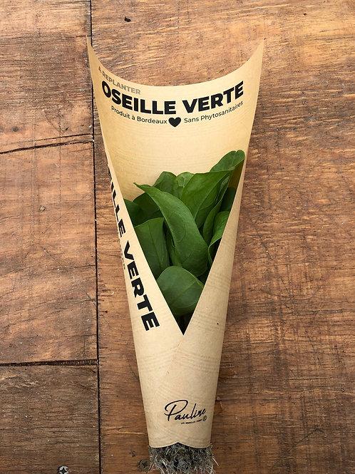 Oseille Verte à replanter