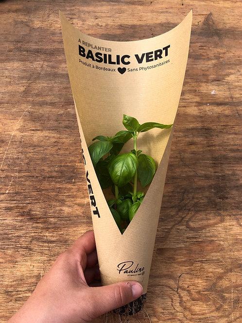 Basilic Vert à replanter
