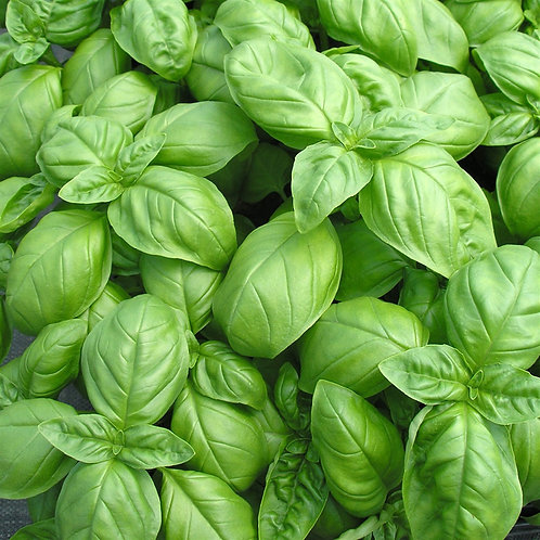 Basilic Vert - (botte 30g)