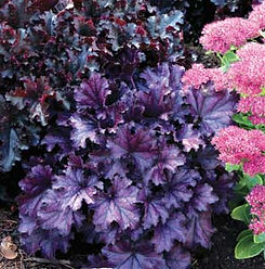 Heuchera_Forever_Purple.jpg