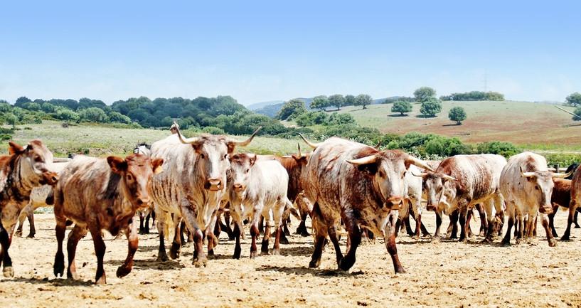 """""""A Campo Abierto""""  Kühe, Stiere und Pferde in ihrem natürlichen Lebensraum"""