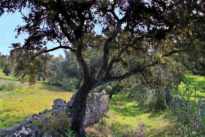 Eichen und Trockenmauern in den Bergen von Cadiz