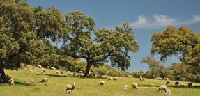 Montemediterraneo: In den Dehesas - den Eichenhainen - weiden Kühe, Schweine und .... Schafe