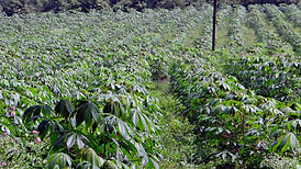 cassava-346887_1920.jpg