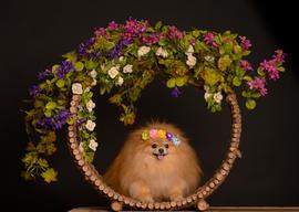 Judy the Pomeranian