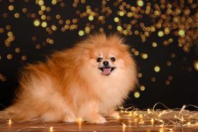 cute Pomeranian photo
