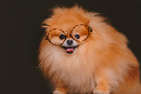 Pomeranian photoshoot in Hyderabad