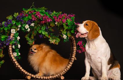 Pomeranian and beagle