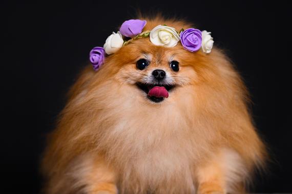 Pomeranian with tiara