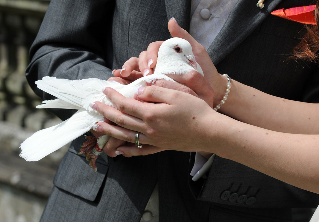 How to hold a white dove for your wedding