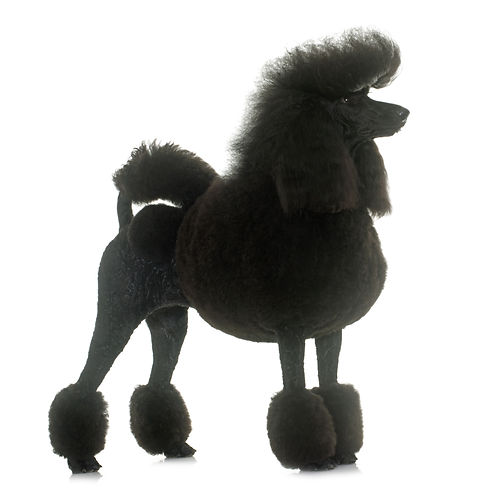 standard poodle in front of white backgr