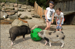 hay play with pigs