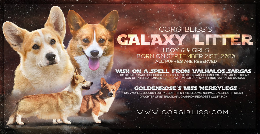 Corgi Bliss Litter Website Widget Galaxy