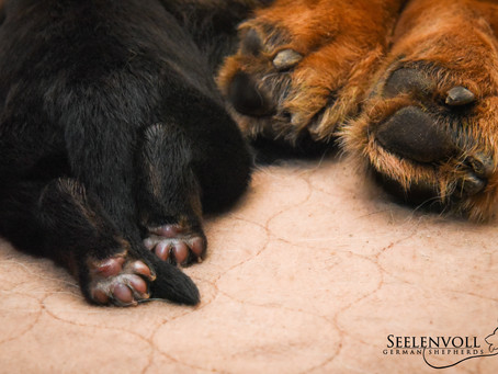 Sequoia and Her 2 Day Old Puppies