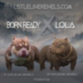 HustleLine Kennels American Bully Lola X Born Reday 12.jpg