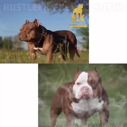 Hustleline kennels breeding dozer and lola wurxx
