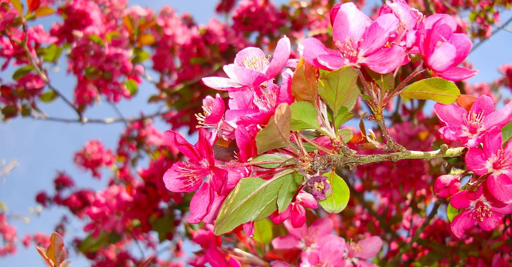 peachblossums.jpg