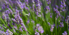 Lavender Essential Oil - How can you use it at home?