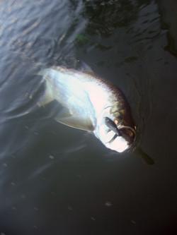 tarpon fishing puerto rico