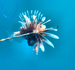 Lion Fish Hunting Trips Puerto Rico
