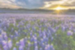 Texas bluebonnet field at sunset in Muleshoe Bend Recreation Area, Austin_edited_edited.jpg