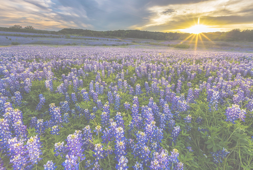 Texas bluebonnet field at sunset in Muleshoe Bend Recreation Area, Austin_edited_edited.jpg