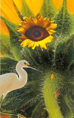 Snowy Egrets Sun Eye