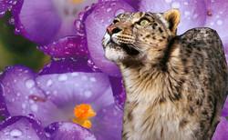 Snow Leopard Medicine
