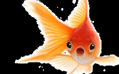 goldfish_PNG57.png