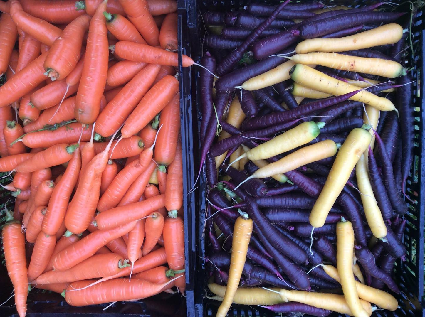 Winter carrots, rainbow