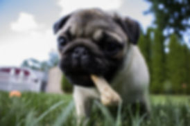 puppy-dog-animal-pet-food-mammal-592538-