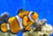 peixe-agua-salgada-nemo-palhaco.JPG