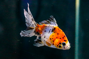 Peixe-agua-doce-japones.png