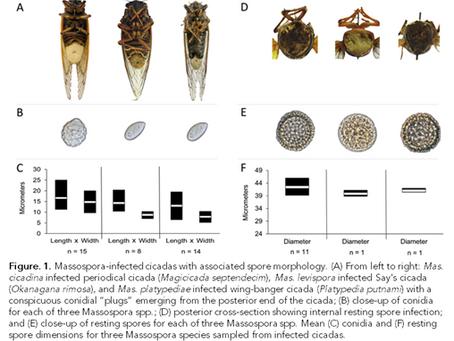 Psychoactive alkaloids from two cicada-infecting parasitic fungi modify host behavior