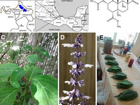 Salvia divinorum & the unique entheogen: Salvinorin A