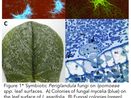 Endosymbiosis & psychedelics: Defensive role of LSA/ergot alkaloids in 'morning glory' seeds